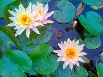 flor aquática 2