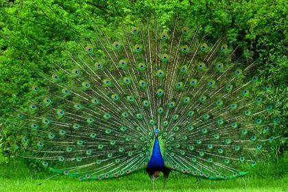 pavão azul-verde
