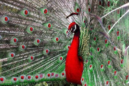 pavão vermelho
